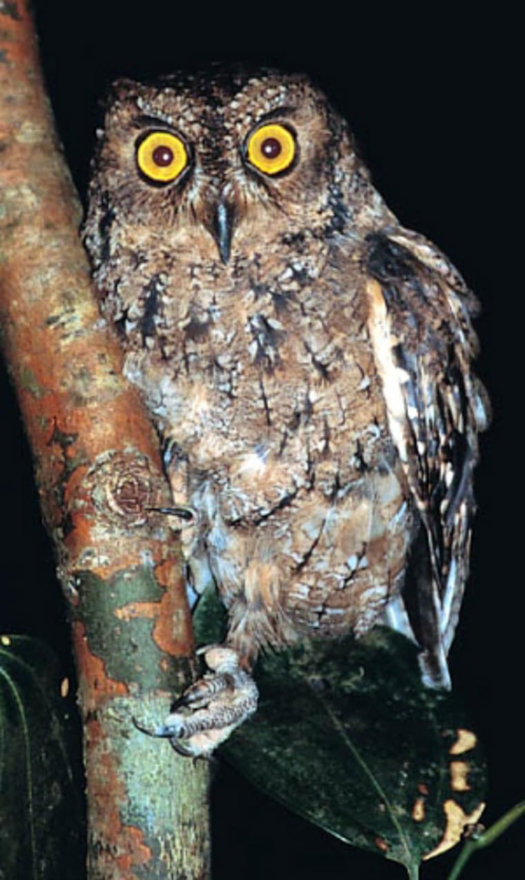 """The Seychelles scops-owl, unique to the Indian Ocean country, is among the endangered species listed as in the2004 """"Red List.""""Scientists note that in its casethere are some positive signs of recovery."""