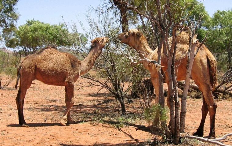 To match feature Australia-Camels
