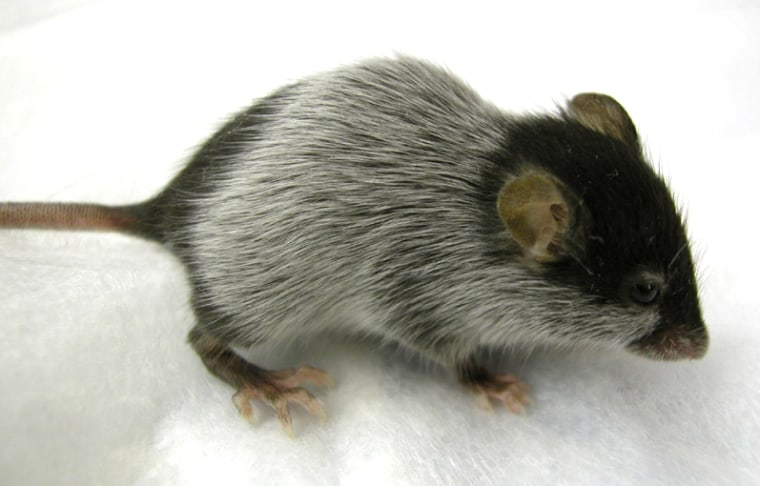 A Bcl 2 null mouse 58 days after birth shows hair graying where the first hair has shed.
