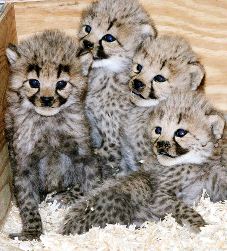 Four baby Cheetah cubs, born on November 23, 2004, huddle together at the National Zoo