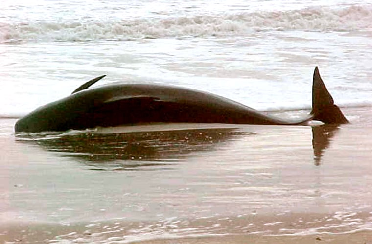 A beached pilot whale is seen near Oregon Inlet on North Carolina's Outer Banks on Saturday. It's not uncommon for pilot whales to beach themselves, but scientists do not know why.