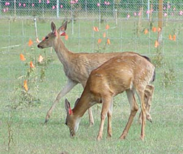 Efforts to curb damage from white-tailed deer like these include testing natural repellants on plants.
