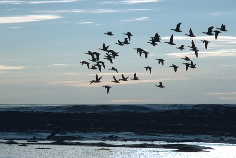 Brants fly as a flock above the Arctic National Wildlife Refuge in Alaska. Scientists say such flocks tend to follow a few individuals in the know.