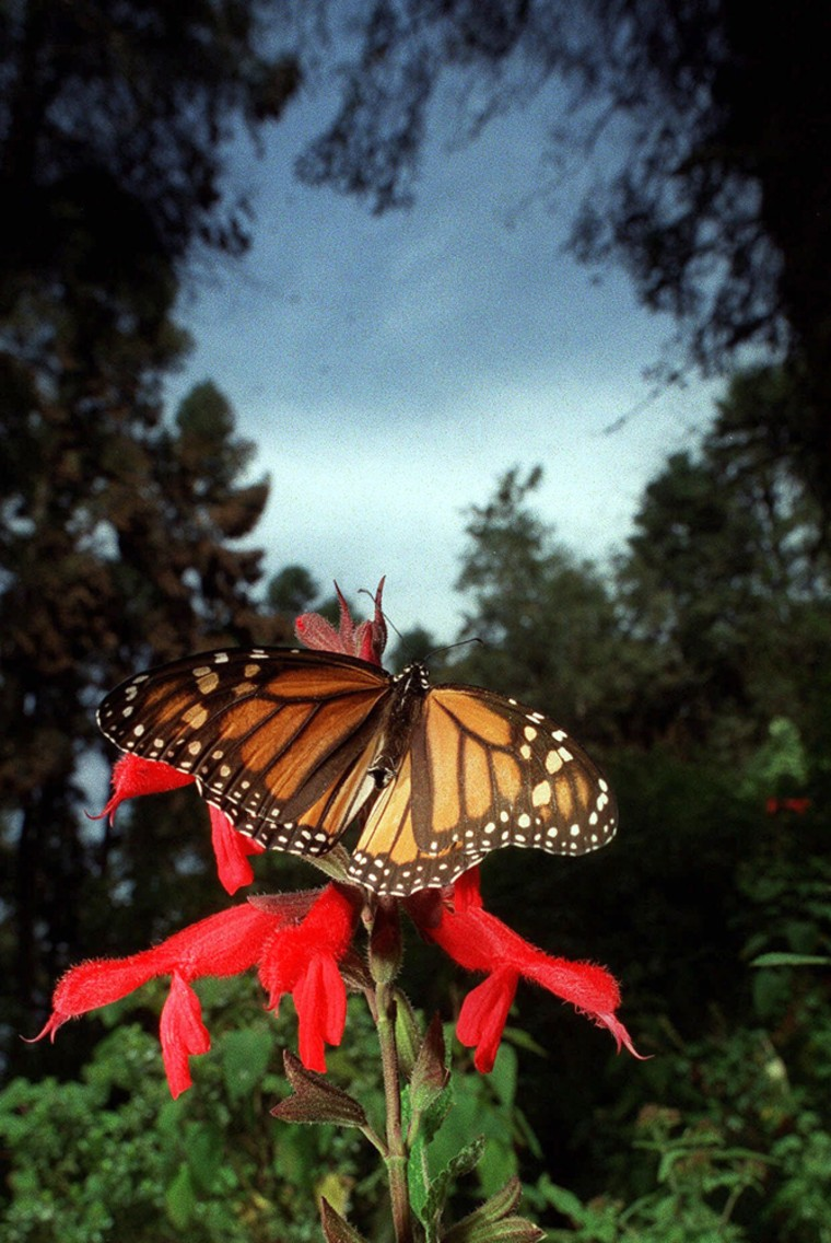 A Monarch butterfly sits inthe Mexican forest where millions migrate to each year from North America.
