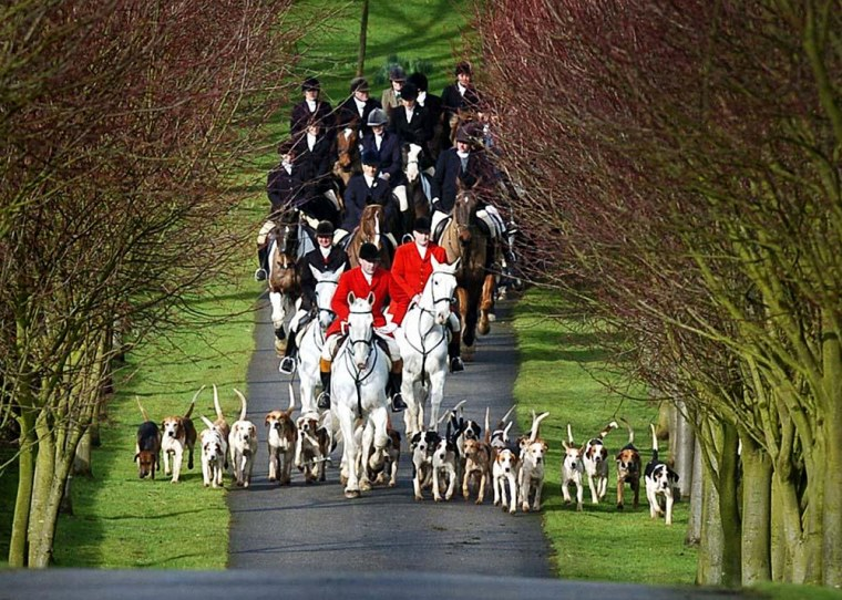 Hounds of the Bilsdale Hunt, the oldest foxhunt in England, dating back to 1658, during their meet near Thirsk, England, on Thursday, before the ban on hunting comes into force. The new law bans all hunting with hounds, including the pursuit of rabbits and deer.