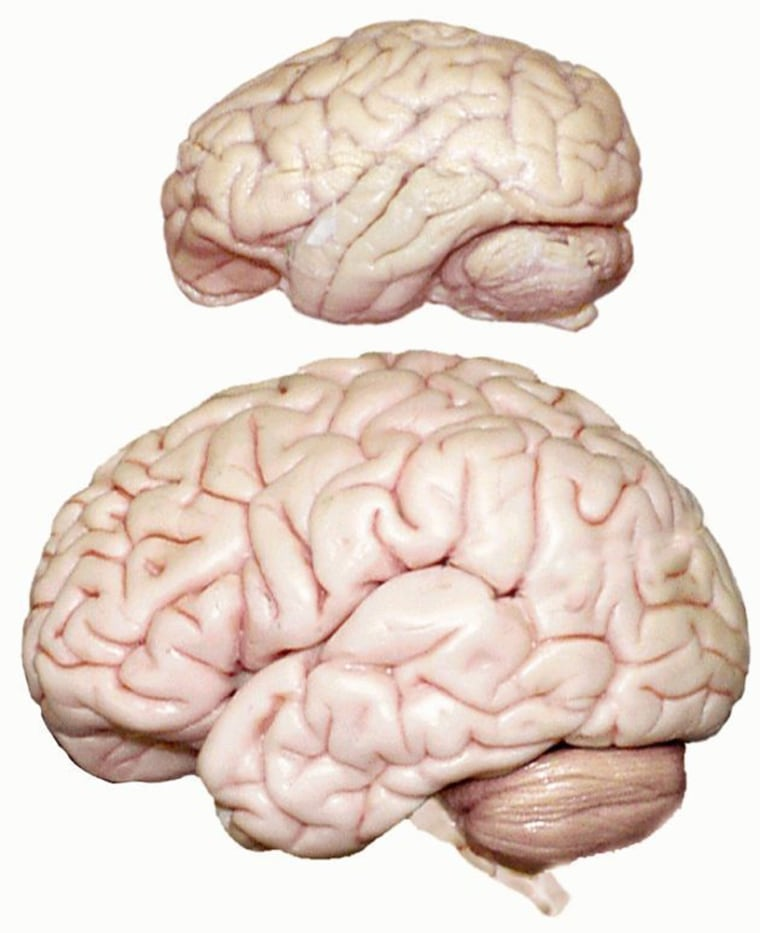 Before brain enlargement began 2.6 million years ago, the ancestral brain was comparable to that of a bonobo brain, at top in this image, which is a third the size of a modern human brain, shown at bottom.