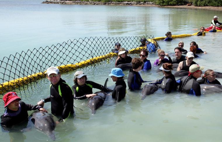 Marine mammal volunteer rescuers transport rough-tooth dolphins in Marathon Florida