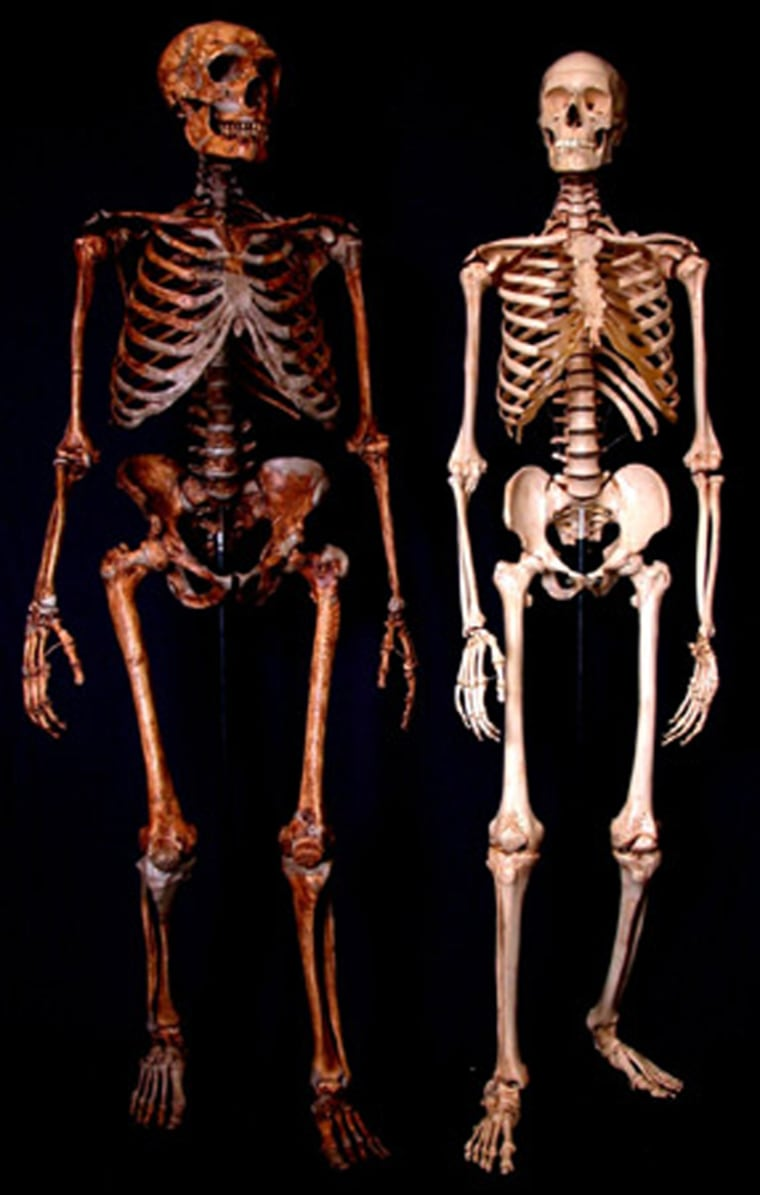The Neanderthal skeleton, at left, is compared with a modern human skeleton. The Neanderthal male was thought to stand 5-foot-6 (168 centimeters) and weigh 142 pounds (64.5 kilograms), with a brain size of 1,200 to 1,700 cubic centimeters. The human maleaverages 5-foot-9 (175 centimeters) and172 pounds (78 kilograms) in weight, with brainsize of 1,300 to 1,500 cubic centimeters.