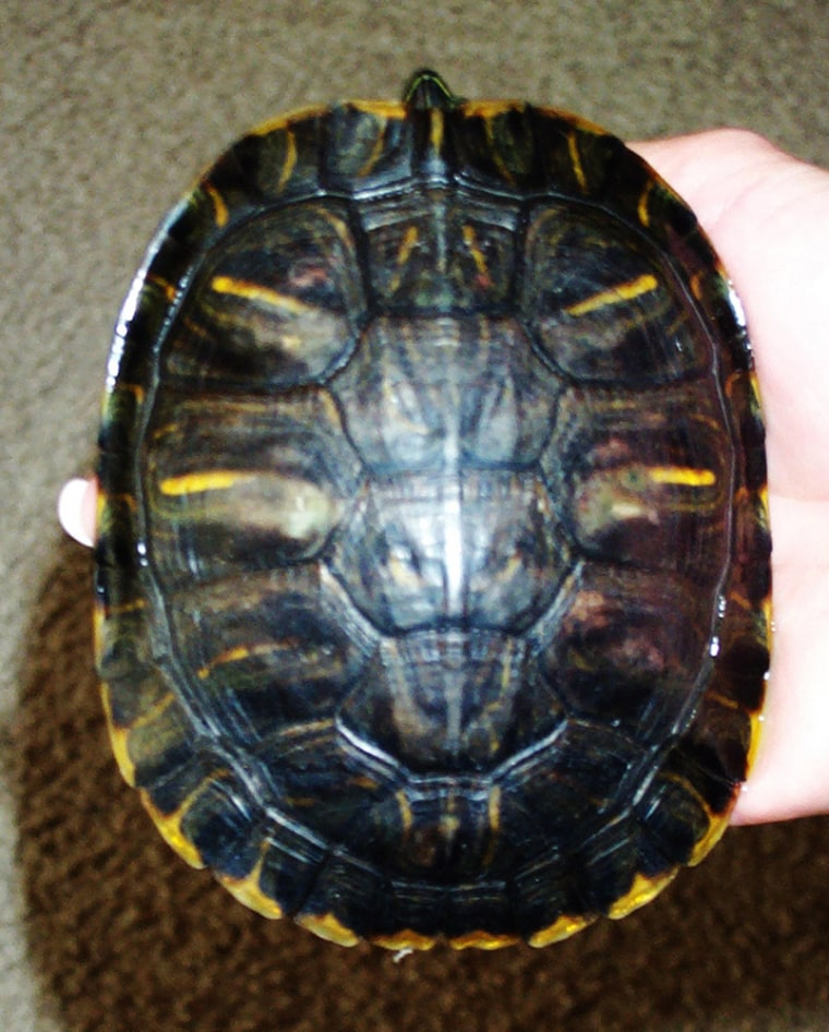 Pet shop owners Marsha and Bryan Dora say the likeness of Satan appeared on the shell of Lucky the turtle after the reptile was the lone survivor of an Oct. 13fire that destroyed their store indowntown Frankfort, Ind.