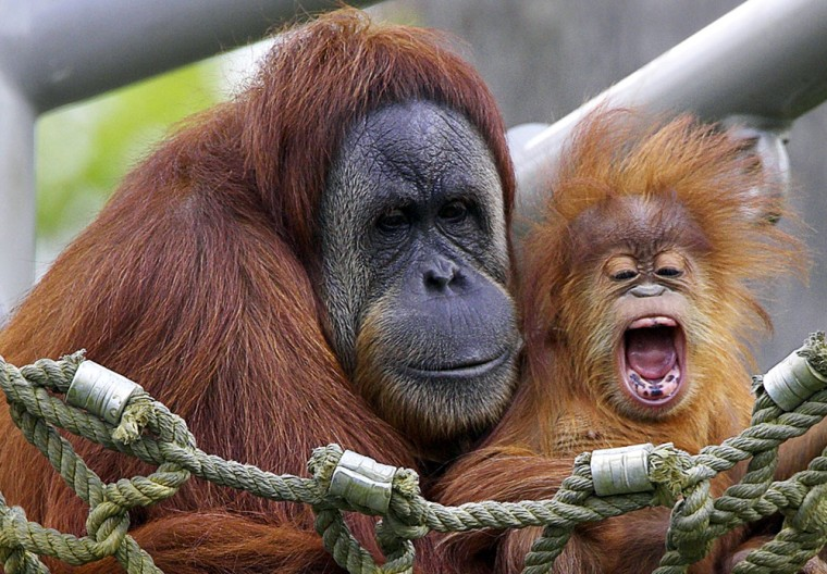 Sumatran orangutan infant, Cinta, and his mother Indah command attention at the San Diego Zoo