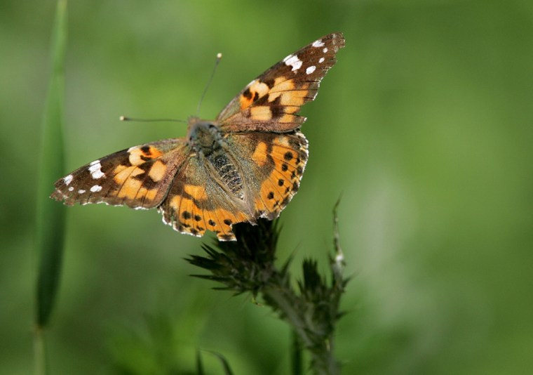 Record Number OF Butterflies Migrate To Californias Bay Area