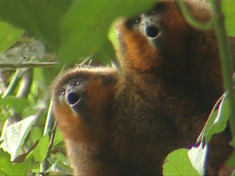 "These two monkey in Madidi National Park, Bolivia, belong to a newly discovered species of ""titi"" monkey that will henceforth be known as the ""GoldenPalace.com Monkey."""