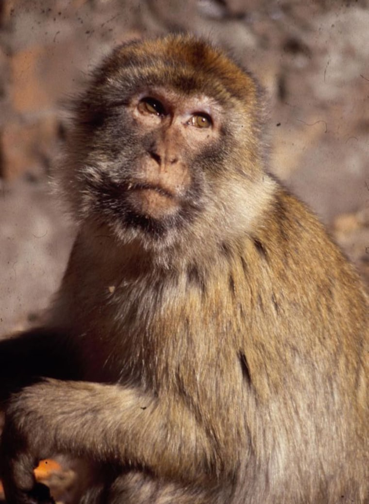 Gibraltar's population of macaques got a secret boost during World War II from British forces, and scientists have now used DNA to tracethe origin of the extra monkeys.