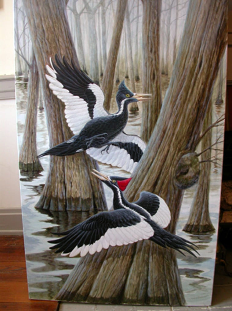 This illustration shows ivory-billed woodpeckers in their native habitat.