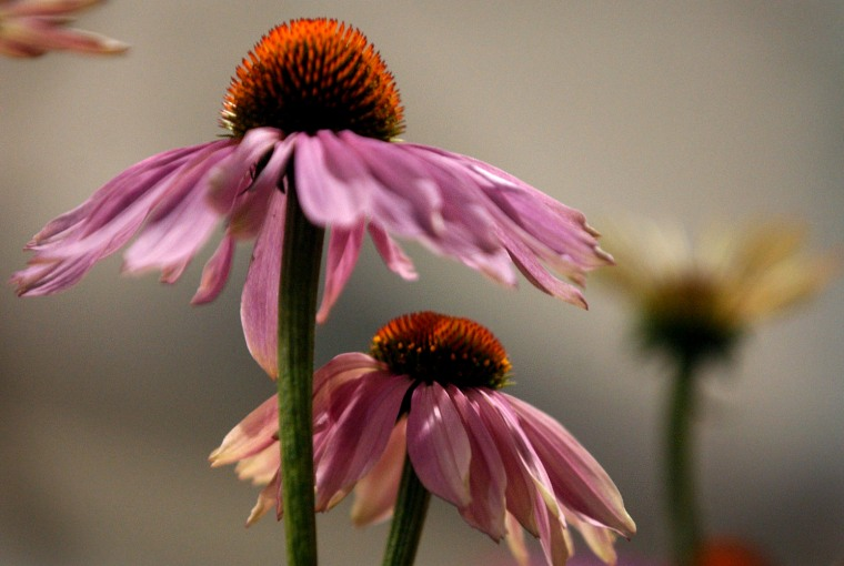 Purple coneflowers, or echinacea, are on display at the Philadelphia Flower Show in this March 4, 2004 photo. With reported annual sales of more than $300 million, echinacea is one of the most popular medicinal herbs used by people to treat colds.
