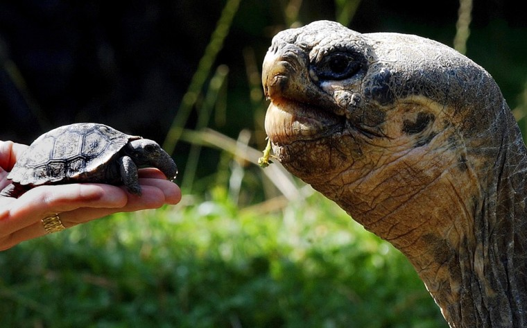 A newly hatched giant tortoise of the Galapagos Islands, left, is shown next to an adult.