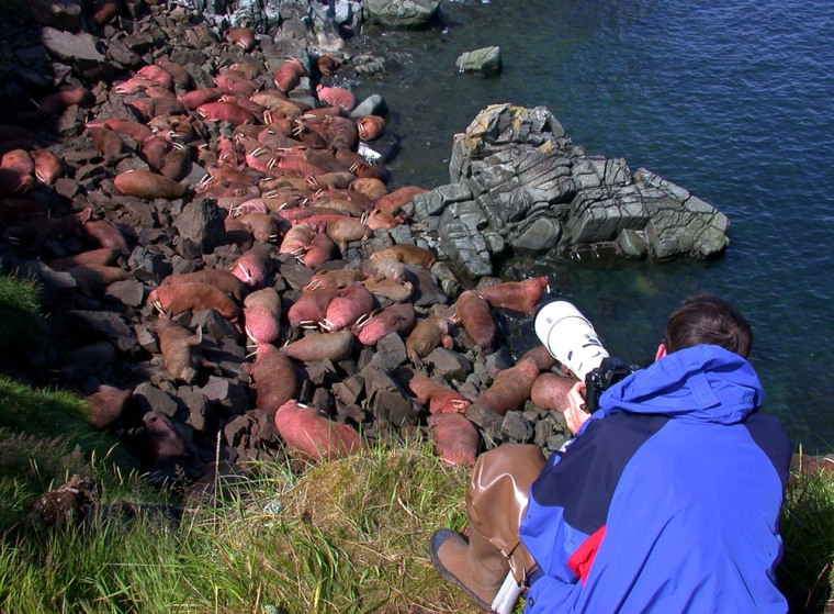 This photo provided by the Alaska Department of Fish and Game shows a visitor at the Walrus Islands State Game Sanctuary inAlaska.