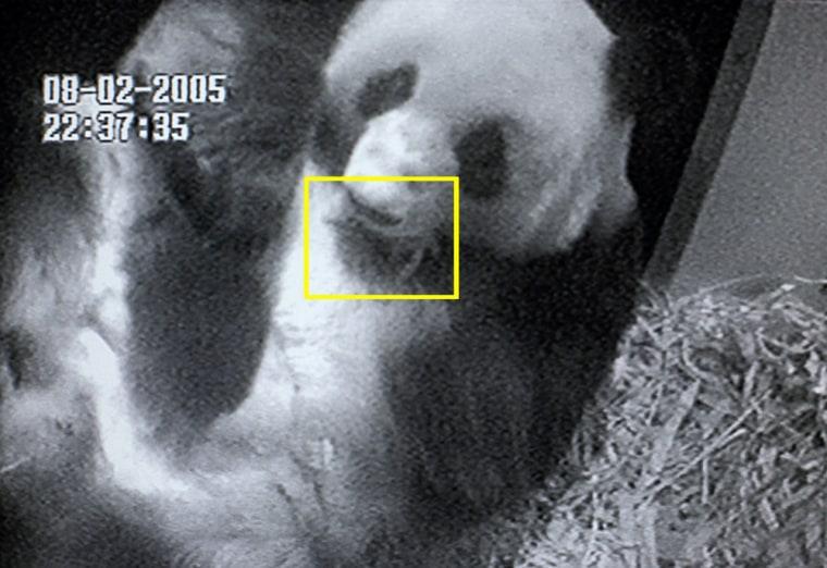 Giant Panda Gives Birth At San Diego Zoo