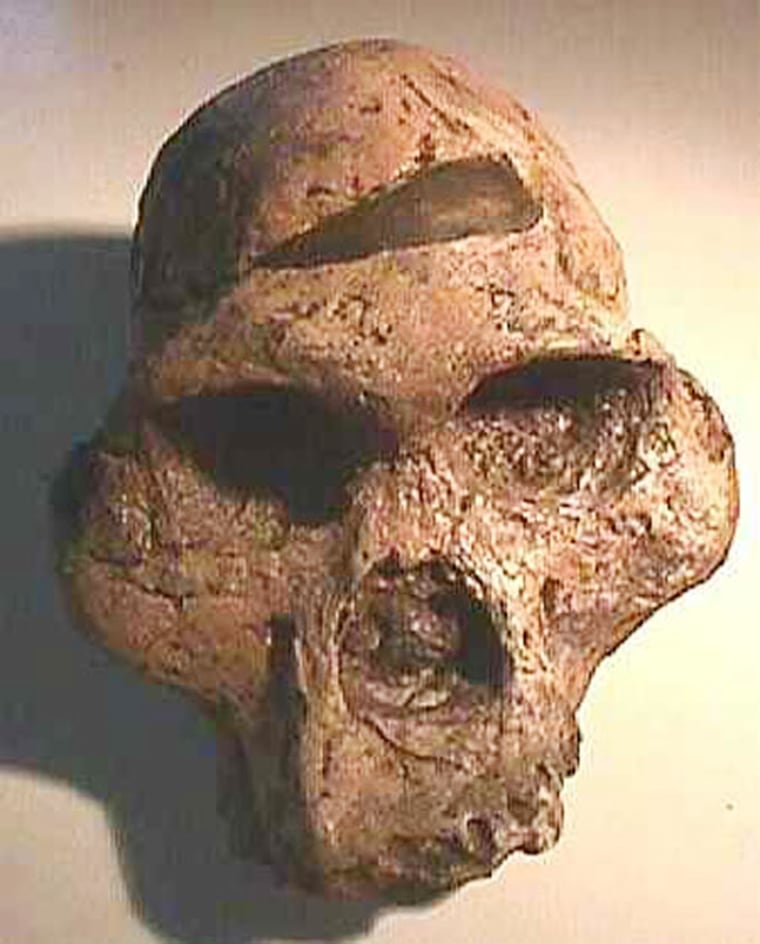 A skull of Australopithecus africanus is shown here. The early humnlived in Southern Africa between 2 million and 3 million years ago and ate mostly soft foods like fleshy fruits, leaves and meat.