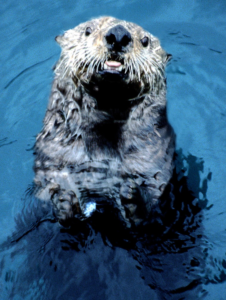 Alaska'ssea otters, seen here in the waters off of the Aleutian Island of Adak, have faced a dramatic decline in numbers.