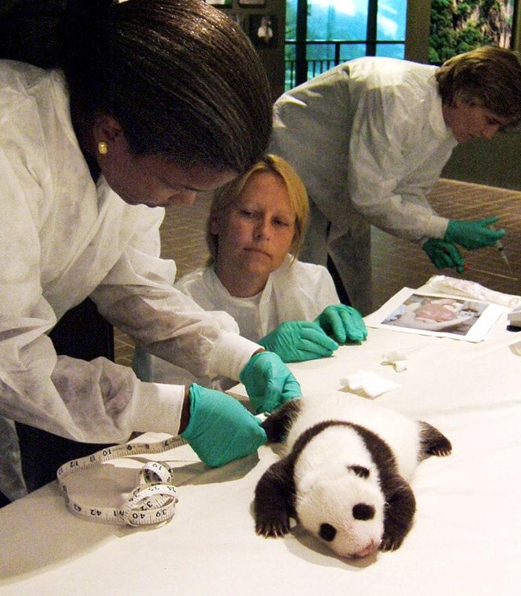 Male giant panda cub at Smithsonian's National Zoo receives health examination, Washington