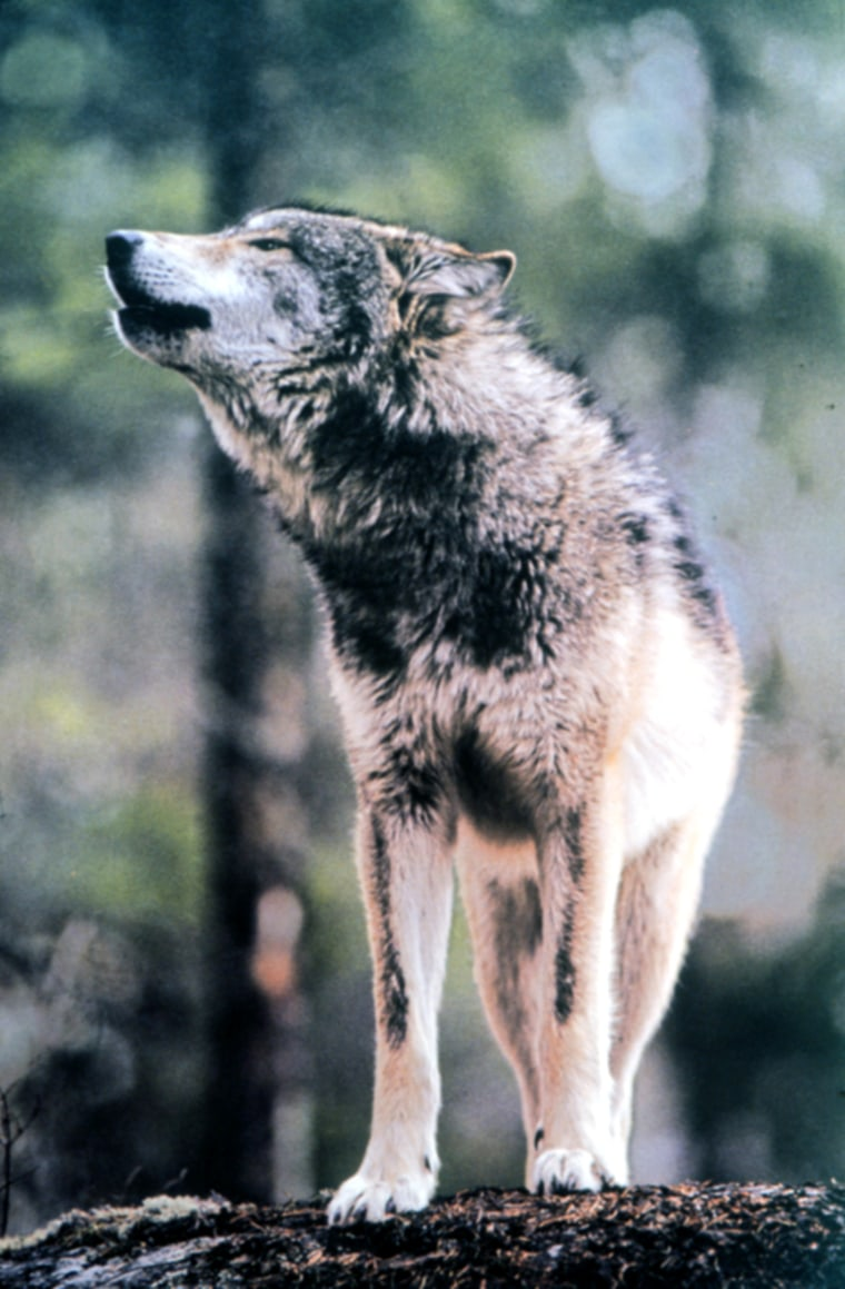 The gray wolf could make a comeback in the Northeast, after a judge ordered the Interior Department to restart efforts to reintroduce the species.
