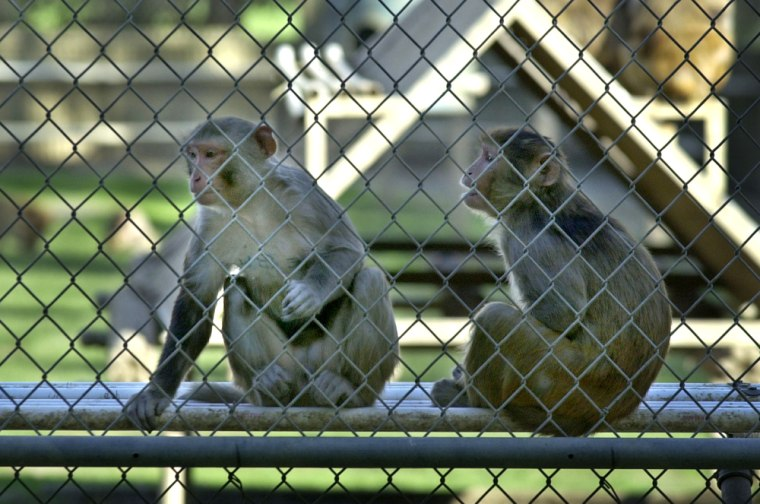 """Rhesus macaque monkeys similar to these at the California National Primate Research Center were tested to see whether they'd go for a """"safe"""" light with a consistent juice reward or a """"risky"""" light with a larger or smaller reward."""