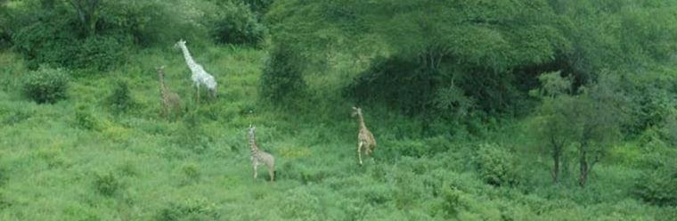 Rare white giraffe photographed in Tanzania's Tarangire National Park.