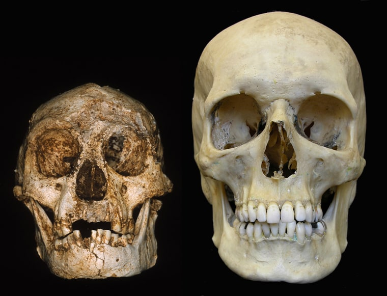 A skull from the Flores site sits alongside a modern human skull.