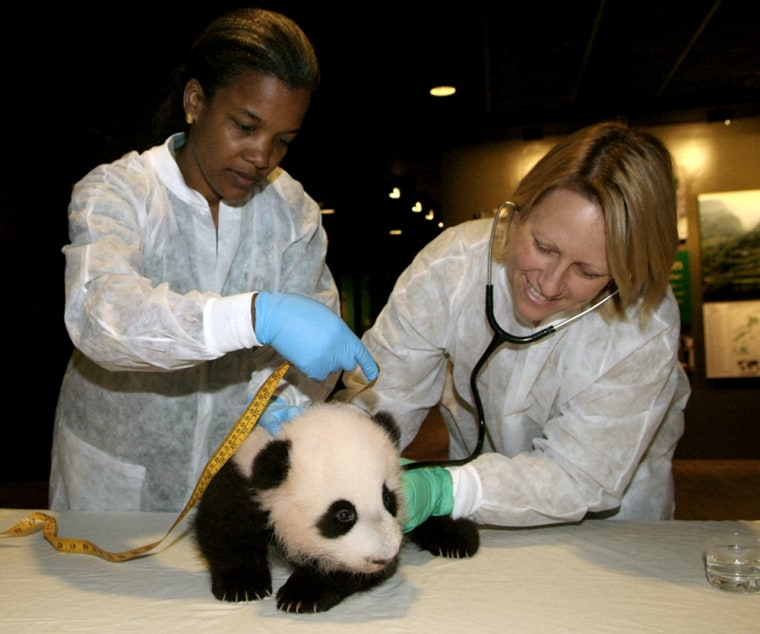 Giant panda cub during its eighth health exam at the Smithsonian's National Zoo