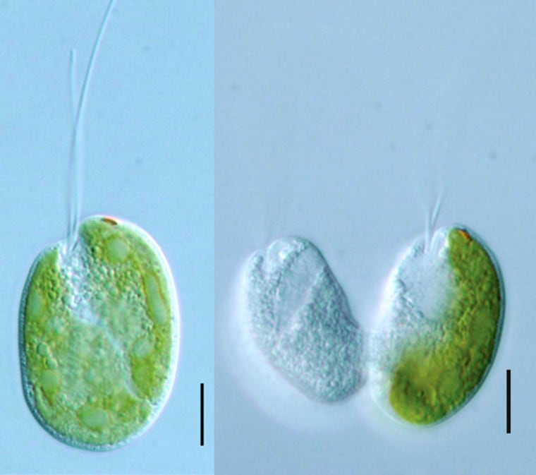 """At left, the """"Hatena"""" organism possesses a green alga as a symbiont, witha tail sticking outfrom the cell wall. At right, two daughter cells are created during cell division, with one of the daughters inheriting the green symbiont. The other daughter goes out and captures a new algal cell. The black scale bar represents 10 microns in length."""