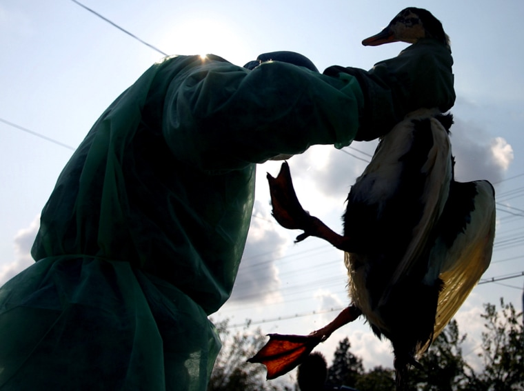 A Romanian gendarme holds a dead domestic duck killed on suspicion of bird flu in Romania