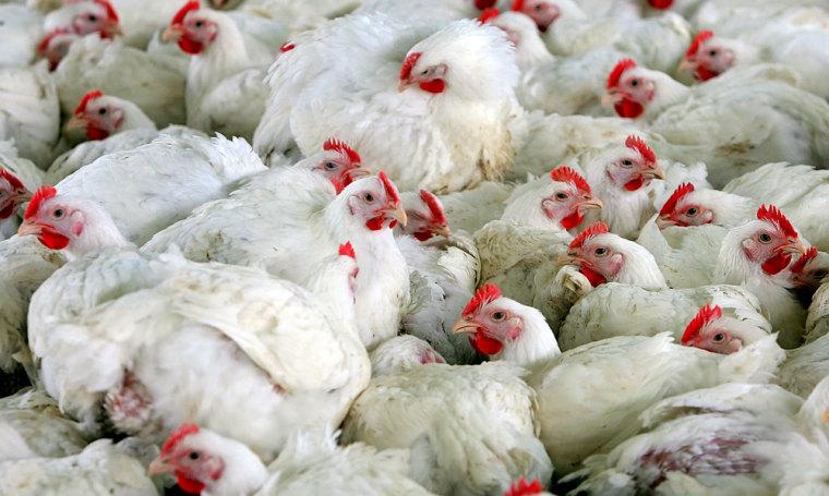 Chickens are seen in a farm close to Cremona