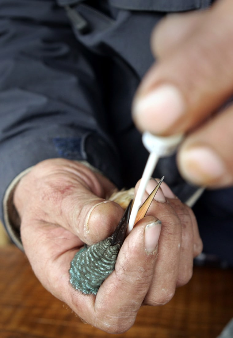 A Kingfisher bird is held by an ornithologist taking a sample in Vrana, southern Croatia, on Oct. 20.