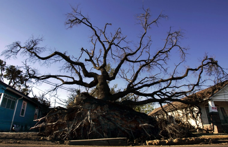 This uprooted oak tree in New Orleans' Ninth Ward didn't survive Hurricane Katrina, but experts estimate the vast majority of historic trees in the city did.