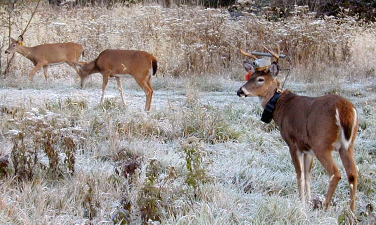 The white-tail deer at right was one of two bucks fitted with wireless video cameras to give researchers an up-close and personal view of a deer's world.