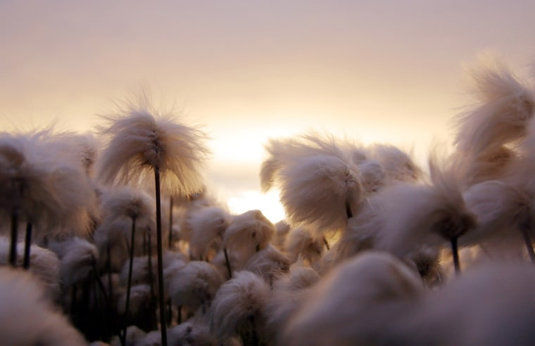 Cotton grass stands tall in the setting sun in Kulusuk, Greenland, Aug. 16, 2005. Greenland, the world's largest island, has majestic scenery, great wildlife, extreme sports, and museums but remains expensive.