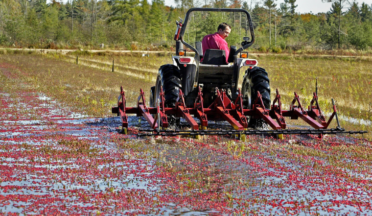 Dan Brockman pulls his new invention, the 'ruby slipper,' as he harvests cranberriesin Pittsville, Wis. The fruit-gathering machine promises a faster way to harvest cranberries each fall.