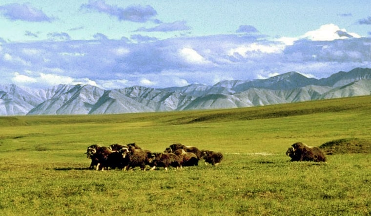 A herd of musk ox graze in an area of the Arctic National Wildlife Refuge in Alaska, known as Area 1002, in this undated file photo. Should Congress approve drilling in the refuge, it would be within this area along the coastal plain.