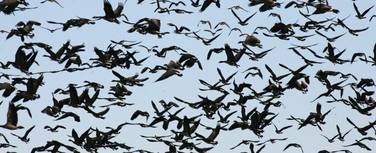 File photograph of Canada geese as they take of from a field in Manitoba