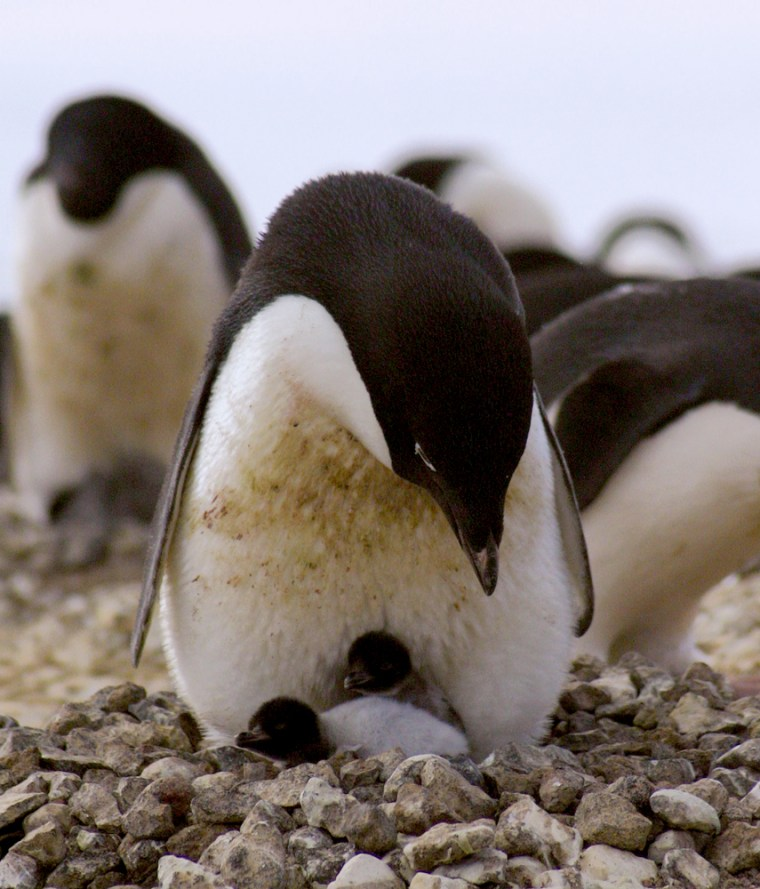 """An adult Adélie penguin on Antarctica'sRoss Island cares for its two chicks. In 2001, a """"mega-iceberg"""" grounded near this Adélie penguin colony, forcing the birds to change their normal migration routes and increasing emigration among colonies."""