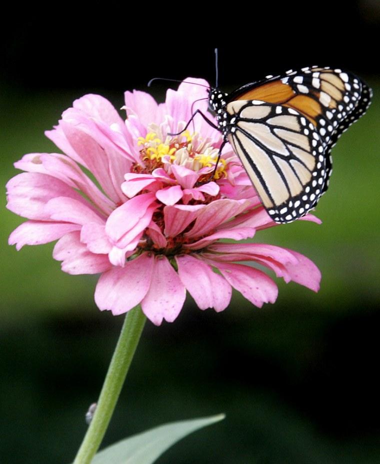 A monarch butterfly lands on a Zinia in a garden in Pennsylvania