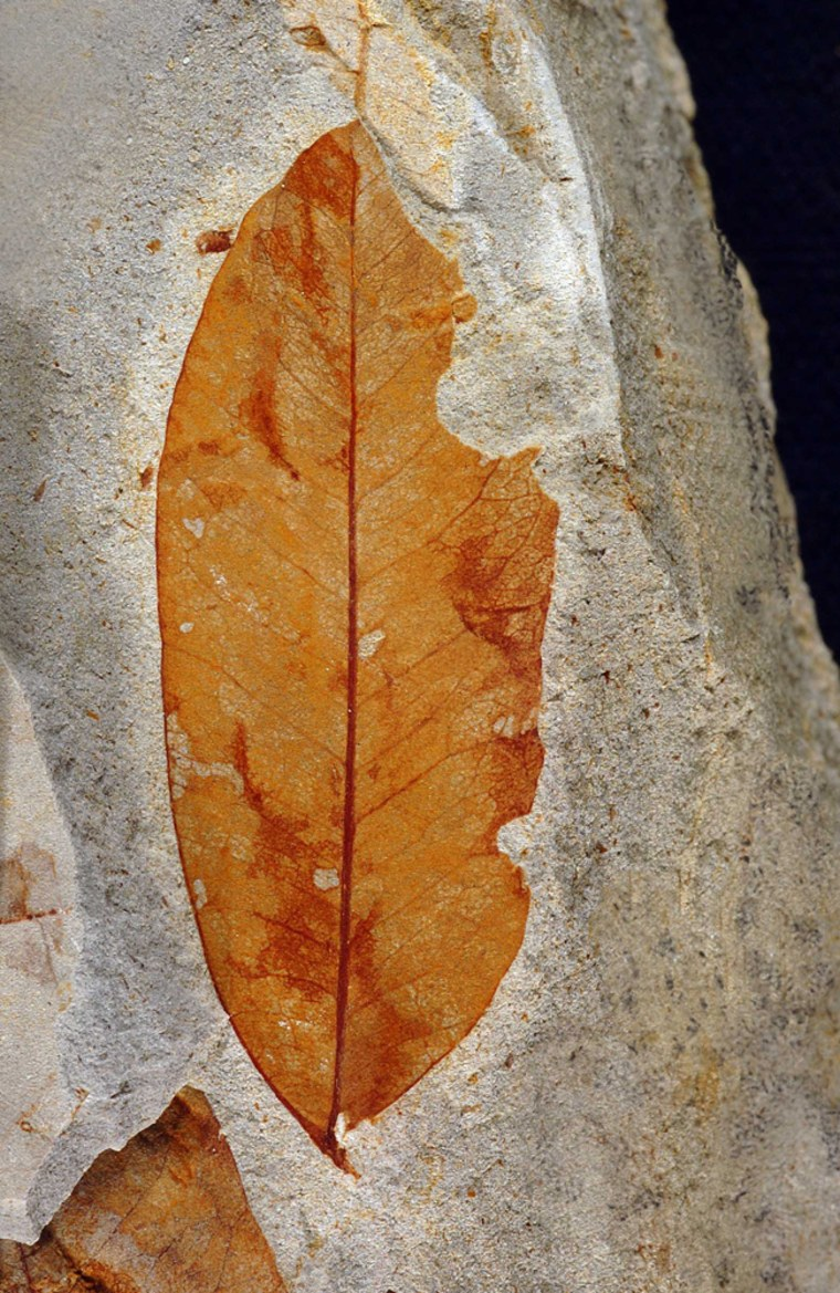 This fossil leaf, related to the genus Machaerium in the bean family, dates back 55 million years. This species appeared briefly in northern Wyoming during the Paleocene-Eocene Thermal Maximum, along with other migrants from farther south.