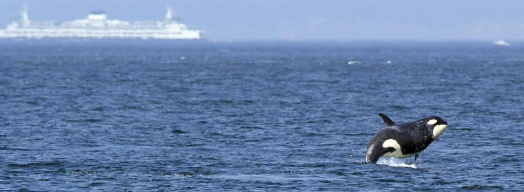 A one-ton female juvenile orca breaches the waters off Seattle as a ferry passes in this photo from June 2002.
