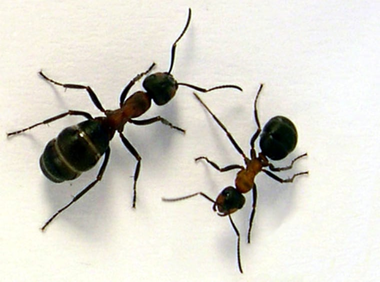 Scientists found that ants navigated according to their stomach. A hungry wood ant, such as the one on the right in this image, would go toward food, while a fed one, such as on the left, would go home.