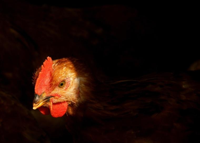 A chicken is seen in a chicken house in Shanghai