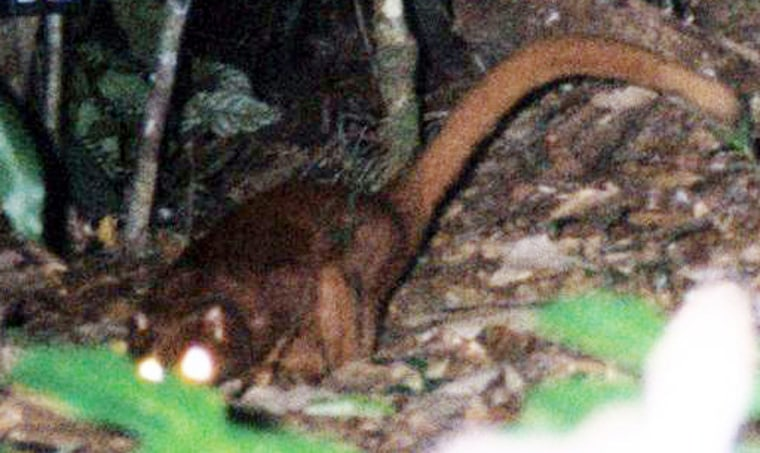 Undated photograph shows a Bornean red c