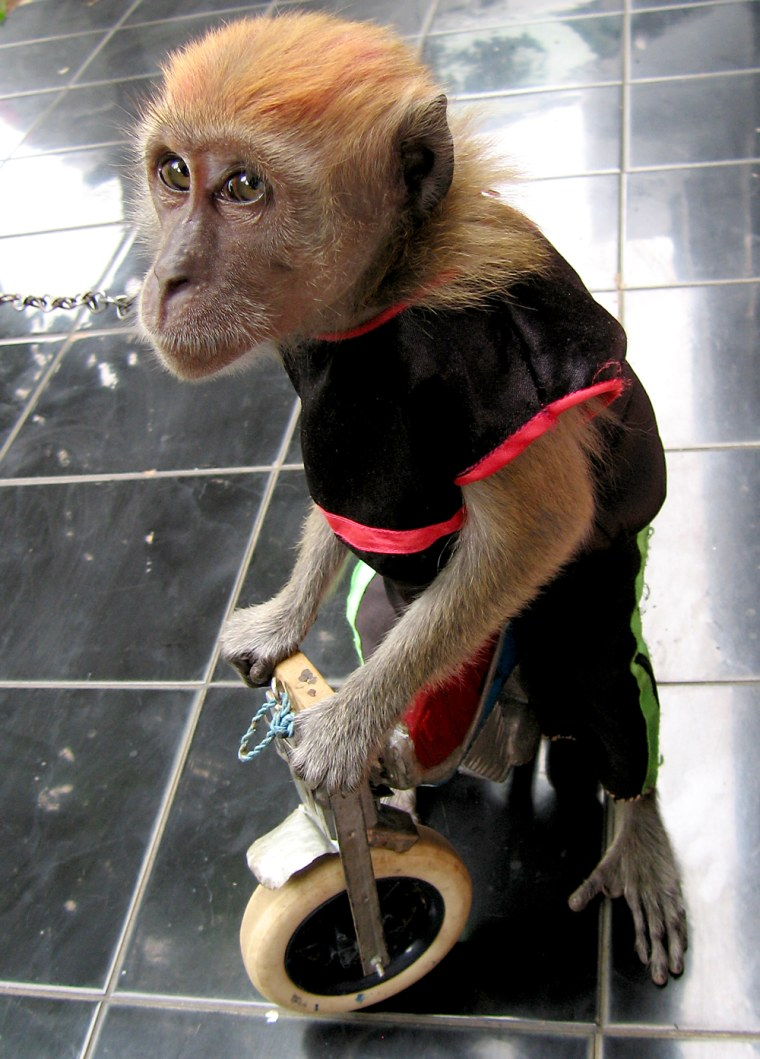 A performing monkey in Indonesia has been trained to ride a miniature bicycle. Researchers tested other performing monkeys in Jakartaand founda variety of retroviruses in their blood.