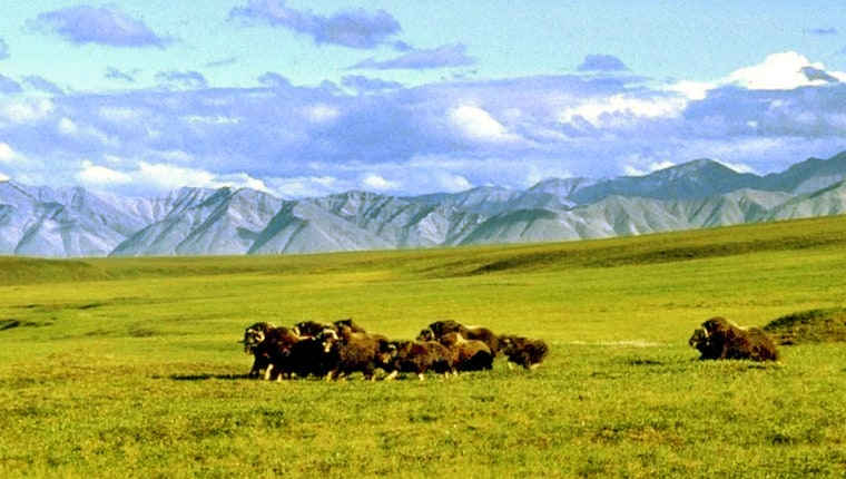 A herd of musk ox graze in the Arctic National Wildlife Refuge in Alaska. The Republican Party's debate over drilling for oil in Alaska could affect unrelated budget cuts.