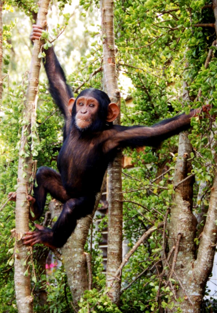 Modern chimps are the closest animal relative to humans. Knowing when the two split has implication both for understanding how quickly evolution works.